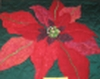 Poinsettia wallhanging