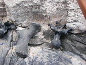 Bones from Clveland-Lloyd Dinosaur Quarry
