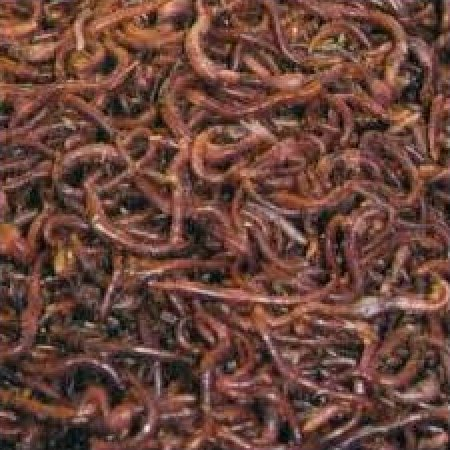 5 lbs. Red Wiggler Composting Worms