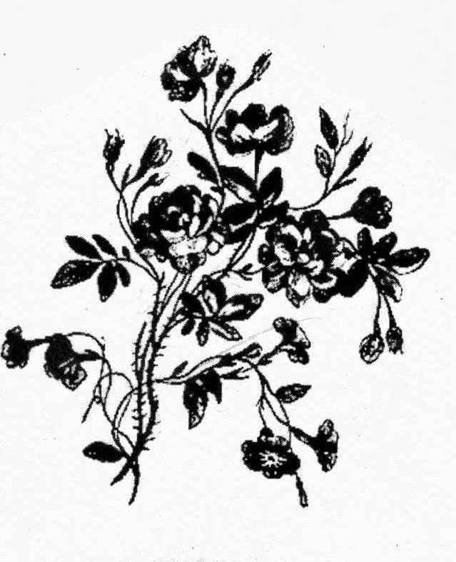 Rose Bushes Drawing Rose Bush Large