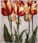 TTAP411 Asiatic Tulips