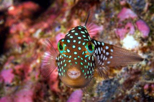 box puffer fish