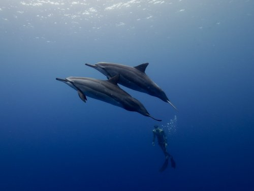 dolphins and freediver kona hawaii