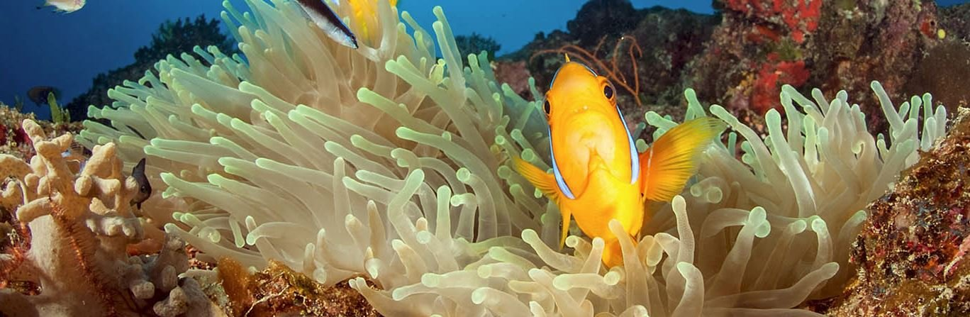 Clownfish anemone on reef