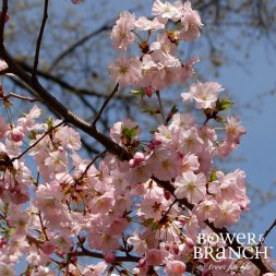 Cherry tree branch in blossom