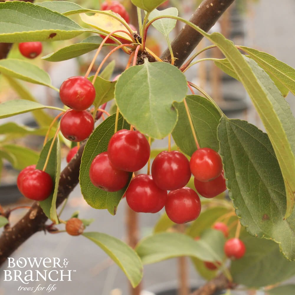 Crabapple tree branch