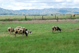 Meridian Jacobs-Jacob ewes grazing