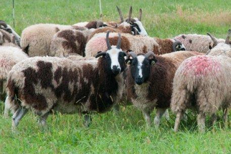 Meridian Jacobs - Jacob ewes